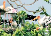 It is for the first time that painted storks are found in Kerala