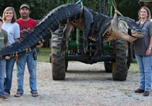 The alligator was the largest legally hunted gator ever recorded