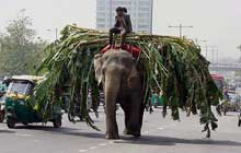 In Kerala, elephants walk hours on the hot tarred roads without food or water