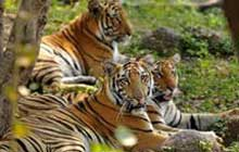 Poaching is the 'most immediate threat to wild tigers'