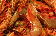 Once again, its golden time for prawn farming and a kg of prawn sells at Rs 550 to Rs 600