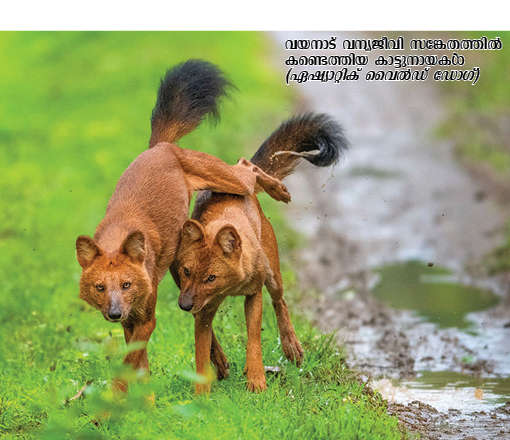 asiatic wild dogs